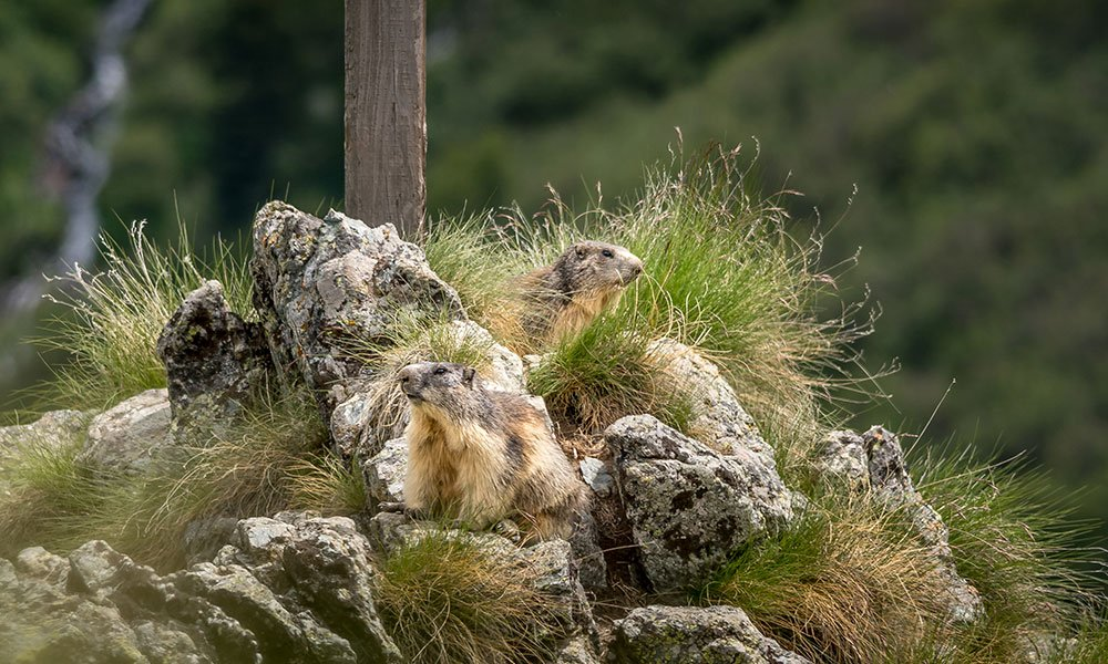 marmots sitting on top of a rock